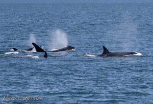 Bigg's (Transient) Killer Whales - Orca Spirit Whale Watching Tours