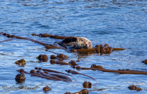 Sea Otter - Orca Spirit Whale Watching