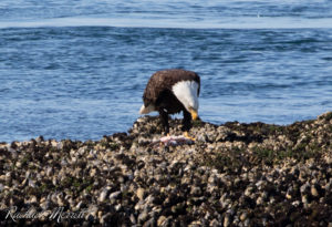 Bald Eagle - Orca Spirit Whale Watching