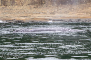 Grey whale foraging in the shallows