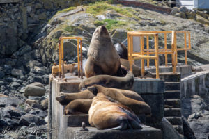 Stellar Sea Lions - Orca Spirit Whale Watching