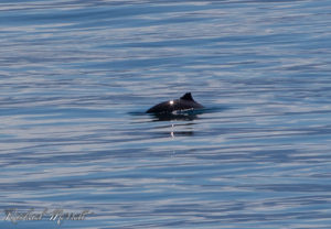 Harbour Porpoise - Orca Spirit Whale Watching