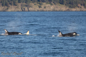 Southern Resident Orcas in Haro Strait - Orca Spirit