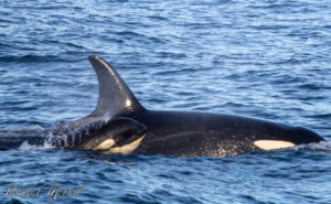 New mother Tsuchi (J-31) and her daughter, Tofi (J-56) - Orca Spirit Whale Watching
