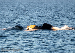Lunge feeding humpbacks in the sunset on the Juan de Fuca Strait in July