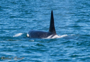 Nyssa (L-84) - Orca Spirit Whale Watching Tours