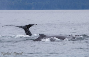 Humpback whales diving into the deep