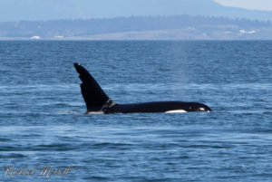 """Chainsaw"" or T63 is one of the most famous Bigg's (Transient) Killer Whales in the Pacific Northwest"