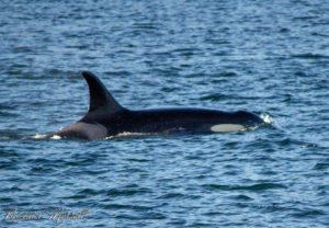 Princess Angeline (J-17) - Orca Spirit Whale Watching Tours