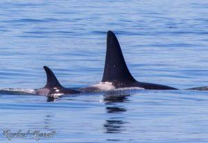 Scoter (K-25) - Orca Spirit Whale Watching Tours
