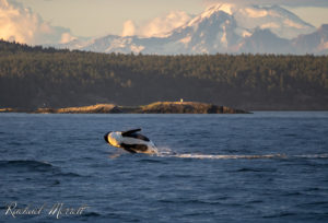 T65A Breaching in front of Mount Baker - Orca Spirit