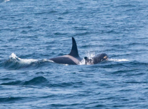 Tahlequah and her calf swimming side by side