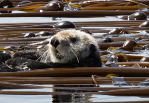 sea otter head popping up in bull kelp