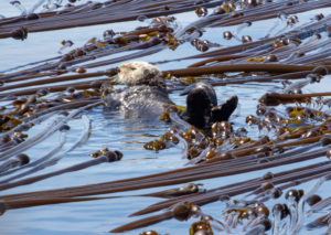 sea otter laying in bull kelp