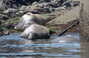 male elephant seals