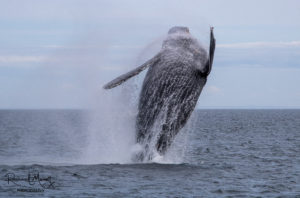 Yogi the Breaching Humpback