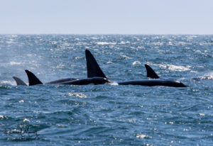 The T60 Bigg's Orca Family